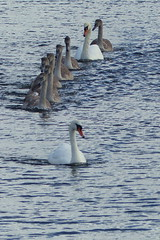 All in a Line (Hythe Eye) Tags: eling hampshire muteswans swans cygnets creek rivertest