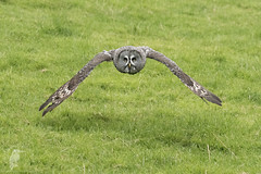 Great Grey Owl in Flight (Gary Hickson Photography L.R.P.S.) Tags: owl greatgreyowl owls russia finland inflight flight nature bird