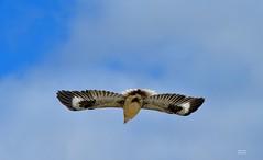 DSC_0026 (RUMTIME) Tags: bird nature birds fly flying flight feathers feather queensland kookaburra coochie coochiemudlo