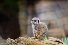 Meerkat (d-harding) Tags: animals zoo meerkat nikon colchester d5100 nikond5100 sigma105mmf28macroexdgoshsm