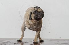 Wet Dog (Doug Schwarz) Tags: funny pug pitbull shake goofyface wetdog dasphoto dougschwarzphotography