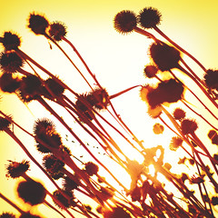 300 fifty two | 365 III {explore} (Randomographer) Tags: flowers sunlight plant fall nature silhouette yellow photoshop square dead prime stem bright emo diagonal explore growth 365 processed spiked 352 project365 rslphotographics
