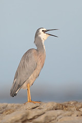 White-faced Heron - New Zealand (Geoff Malosh) Tags: newzealand heron adult kaikoura whitefacedheron whitefaced billstretch
