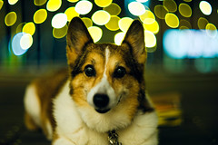 Happy New Year! (moaan) Tags: dog japan dof bokeh illumination kobe jp utata hyogo happynewyear 2015 pochiko thelittledoglaughed littledoglaughedstories ernestleitzwetzlarsummarexf85cm