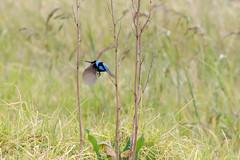 Male Superb Fairy-wren (andrewOZimages) Tags: birds fauna reeds bush australia victoria scrub heatherton karkarookpark