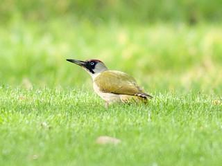 Grünspecht / European green woodpecker (Picus viridis)