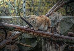 Eurasian lynx family (Dale Michelsohn) Tags: family wild animal forest cat europe dale sweden stockholm wildlife skansen eurasian lynx skandinavia dalem lodjur notth dalemichelsohn