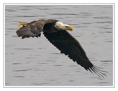 Low pass fishing (Crested Aperture Photography) Tags: usa america us baldeagle maryland raptor predator americanbaldeagle americaamerica greatnature cowingo cowingodam