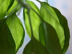 basil (wardnek) Tags: city light sunlight plant chicago macro green cooking window water kitchen leaves garden glow bright grow cook pot soil basil veins herb droop