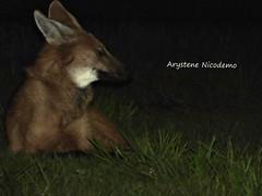 Chrysocyon brachyurus (Arystene Nicodemo) Tags: carlos são carnivoro lobeira loboguara brachyurus chrysocyon canídeo