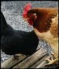 Wilamena & Betty (demileeisme1) Tags: australorp backyardchicken backyardflock dixierainbow