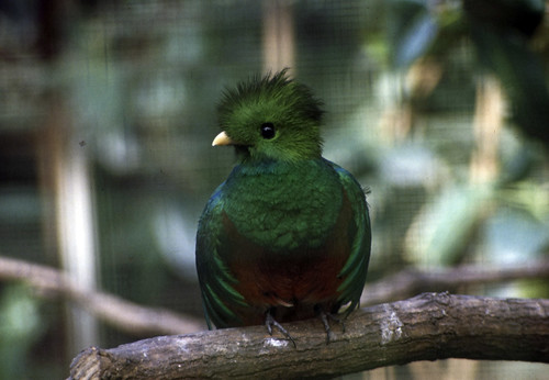 "042 Quetzal (Walsrode 1982) • <a style=""font-size:0.8em;"" href=""http://www.flickr.com/photos/69570948@N04/15700672531/"" target=""_blank"">View on Flickr</a>"