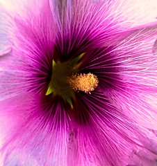 Into the flowers... (Jerry Tremaine Photography) Tags: flower macro nature purple stamen romsey aplusphoto platinumheartaward