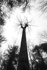 (Schuyler H. Miller) Tags: trees winter blackandwhite forest branches bark pinegrove
