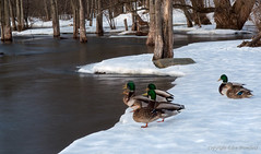 Who moved? (Eden Bromfield (On and Off)) Tags: snow nature river duck long exposure olympus mallard em5 olympusem5