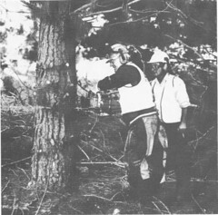 1993-94 report   felling a pine tree, Stromlo Forest. (spelio) Tags: forestry report illustrations australia canberra forests act copies australiancapitalterritory
