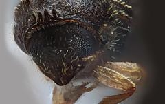 allenothenemus minutus bark beetle, Peurto Rico (Macroscopic Solutions) Tags: macro beetle insects bugs micro solutions wasps macropod pyrite coleoptera hymenoptera macroscopic photomacrography photostacking