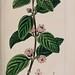 Lippia alba [as Lantana mollissima]   Herbier général de l'amateur, vol. 8 (1817-1827) [P. Bessa]