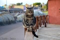 Relaxing (Kataaku) Tags: black animal animals cat mammal photo reflex nikon chat noir photographie moustache whiskers terrestre meow animales animaux antibes animale herbe mammifre flin biot miaou animalier aniamlia animalire d5200 flines