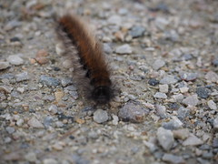 Caterpillar (a_t_b321) Tags: hairy france macro nature hair olympus caterpillar gravel m43 em10 1442mmez microfourthinds