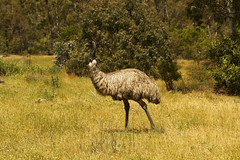 Emu roaming at the Tidbinbilla Nature Reserve, Canberra (Anna Calvert Photography) Tags: trees bird landscape reserve australia naturereserve environment canberra tidbinbilla australianemu