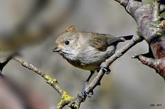 Oak Titmouse           6968 (Ethan.Winning) Tags: birds northerncalifornia northamerica avian oaktitmouse walnutcreekopenspace oldborgesranch dailynaturetnc13 dailynaturetnc14 oldborgesranchtrail ethanwinning eawinning
