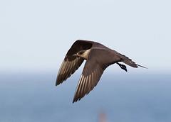 _D7B0123 (pronature images) Tags: bird paul ekkeroy day40 skua varanger norway2013