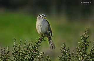 White-crowned Sparrow   1036