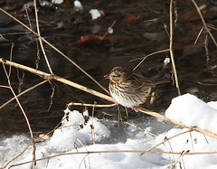 "Song Sparrow in 16 degree weather! • <a style=""font-size:0.8em;"" href=""http://www.flickr.com/photos/92887964@N02/16046134725/"" target=""_blank"">View on Flickr</a>"