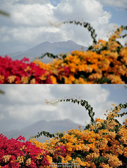 Volcano // Flowers (Ed.ward) Tags: flowers holiday volcano spain montage tenerife teide canaryislands 2014 mountteide playasanjuan nikond700 nikonafzoomnikkor80200mmf28ed