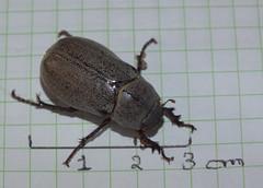 Scarabaeidae>Melolonthinae Lepidiota grisea? Grisea canegrub DSCF6078 (Bill & Mark Bell) Tags: exmouth westernaustralia australia geo:town=exmouth geo:state=westernaustralia geo:country=australia geo:lon=11425453egeolat2217752sgeoalt8m 11425453e2217752salt8m taxonomy:kingdom=animalia animalia taxonomy:phylum=arthropoda arthropoda taxonomy:class=insecta insecta taxonomy:order=coleoptera coleoptera taxonomy:family=scarabaeidae scarabaeidae taxonomy:subfamily=melolonthinae melolonthinae taxonomy:genus=lepidiota lepidiota grisea taxonomybinomialnamelepidiotagrisea lepidiotagrisea taxonomycommonnamegriseacanegrub griseacanegrub insect animal fauna beetle