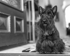 20150116-Maggie0014-4-Edit (Laurie2123) Tags: blackandwhite home maggie scottie frontdoor bnw scottishterrier odc colormyworld nikkor35mm cmwd cmwdblackandwhite blackscottishterrier blackscottie nikond800 odc2 ourdailychallenge