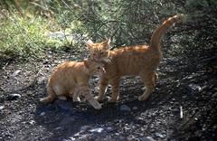 Spielende Kätzchen (fotoculus) Tags: españa cats canarias espana lapalma canaryislands katzen spanien felis kanarischeinseln diascans urlaubsreise1991