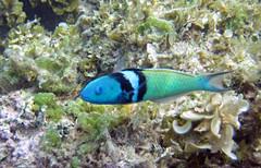 island san salvador bahamas wrasse bluehead thalassoma bifasciatum