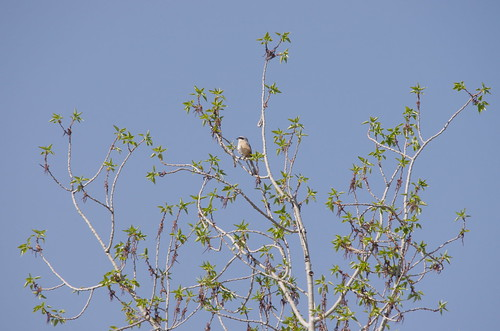 7978 Grey-backed Shrike - Shigatse, Tibet 24-4-2014