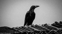 Crow (rajiv_meka) Tags: blackandwhite bw bricks eerie mysterious mystical crow ghostly