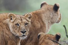 Lionne (Franois Hoyez) Tags: 120 sport lion des 300 parc hsm flins