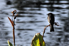 Black Phoebe by the lake. (Alexandra Rudge. Love and peace to all!!!) Tags: animal animals wildlife aves ave pajaros animales pajaro blackphoebe animalia insectivorous flycatcher wildbirds passeriformes sayornis tyrannidae passerine sayornisnigricans chordata vidasilvestre californiabirds tyrantflycatcher californiawildlife californiafauna flycatcherbird flickrhivemindgroup alexandrarudge californiawildbirds faunadecalifornia pajarosdecalifornia californiavidasilvestre vidaanimalpajarossalvajes pajarosdenorteamerica faunadenorteamerica avesdenorteamerica wildlifeofcalifornia alexandrarudgebirds