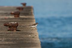 el vigilante (Rafa Lorenzo) Tags: rasbaixas galicia sandpiper nigran andarros bilurico praiaamerica