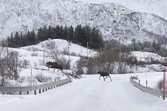 Unexpected meeting.( Explore 15.05.2016) (mariya_ka) Tags: road snow nature animals norway landscape spring northern lofoten moos nikond600