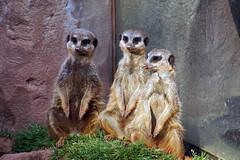 Schnes Wochenende! (ingrid eulenfan) Tags: zoo leipzig tier drei erdmnnchen