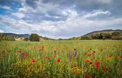 De amapolas, orqudeas y otras florecillas con los amigos (Jos Ferrando) Tags: canon paisaje campo trigo amapolas 24105f4l javibenedito emilioprez