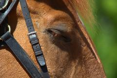 Shut Eye (swong95765) Tags: horse cute eye beauty animal closeup bokeh head sleep police eyelash harness shuteye