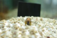 "Hello! (""KIUKO"") Tags: fish aquarium  osaka   suita   afsdxnikkor35mmf18g  nifrel"