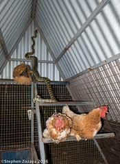 Carpet python (Morelia spilota mcdowelli) in the chicken coop (Stephen Zozaya) Tags: morelia snake python townsville spilota moreliaspilota pallarenda