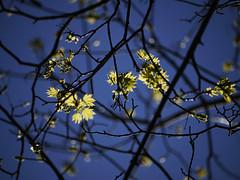 Spring leaves (Pivi ) Tags: sun tree green oslo norway warm springleaves