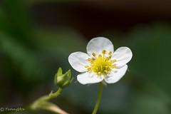 Strawberry (Yorkey&Rin) Tags: macro japan spring strawberry may olympus kanagawa 庭 rin kawasaki マクロ inmygarden 2016 em5 5月 イチゴ olympusm60mmf28macro t5030429
