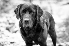 Cold, wet but alert. (Marcus Legg) Tags: blackandwhite dog pet black max wet monochrome forest canon outdoors eos labrador bokeh retriever blacklabradorretriever wetdog 1dmarkiv ef70200mmf28lisii marcuslegg