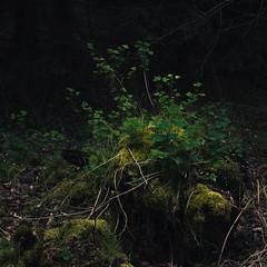Small Worlds in the Dark (Netsrak) Tags: trees tree green nature leaves forest leaf moss woods natur grn blatt wald bltter bume baum treestump moos undergrowth unterholz forst baumstumpf