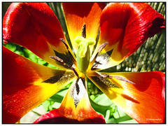 Colorful Tulip (Stephenie DeKouadio) Tags: red flower color colour macro art beautiful beauty yellow canon photography spring colorful image outdoor tulip lovely imagery macrophotography